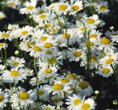 ox-eyed-daisies.jpg