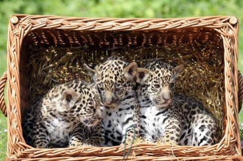 GERMANY-ANIMALS-JAGUAR-BABY