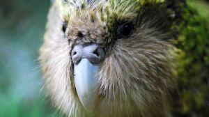 kakapo on codfish island