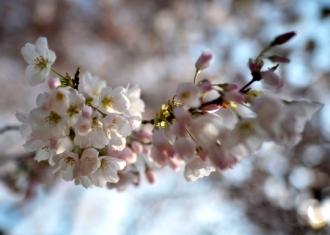 cherry bllossoms at basin 2012