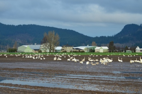 There-were-several-thousand-trumpeter-swans-in-these-muddy-fields-south-of-Mt-Vernon-WA.