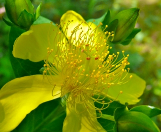 hypericum giant-st-johns-wort-flower
