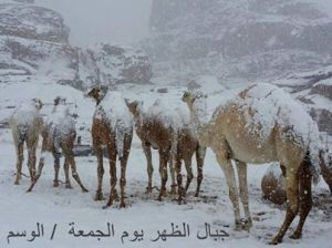 camels waiting