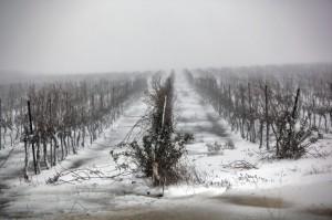 golan heights vineyard