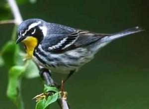 yellowthroatedwarbler