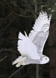owl in flightc