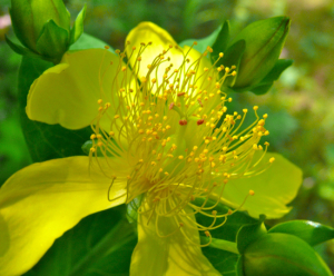 wreathhypericum-giant-st-johns-wort-flower