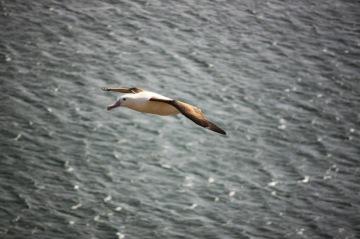 royal albatross  new zealand