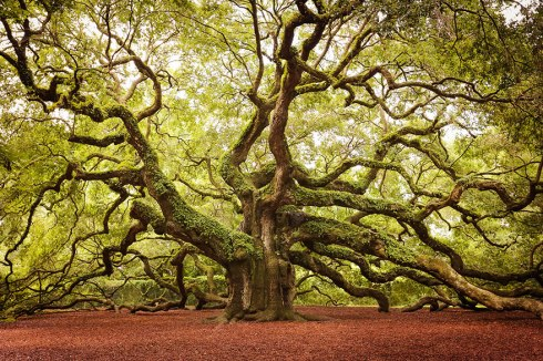 amazing-trees-angel oal st. john's island sc