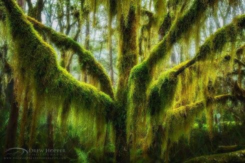 amazing-trees-antartic beech