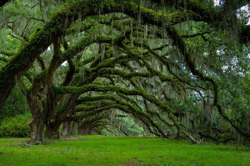 amazing-trees-Avenue Of Oaks At Dixie Plantation In South Carolina