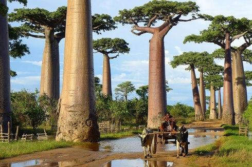 amazing-trees-Baobab Trees In Madagascar