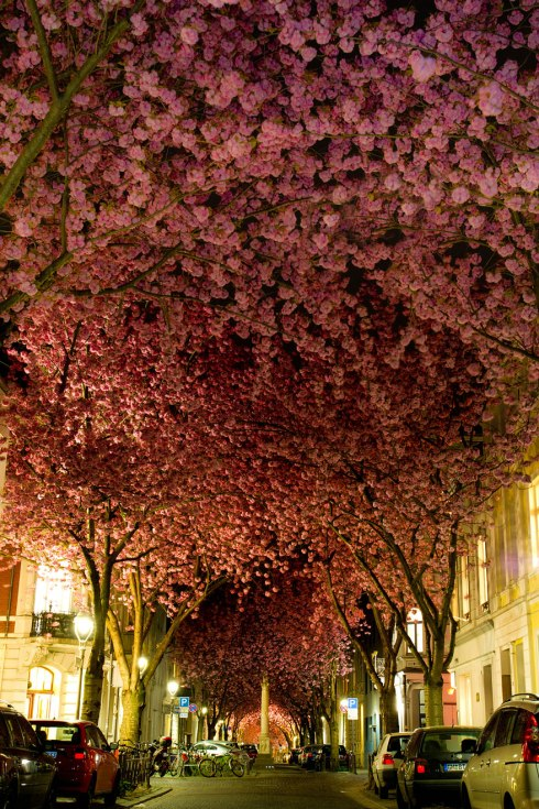 amazing-trees cherry blossoms bonn-2