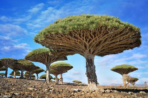 amazing-trees-dragonblood yemen