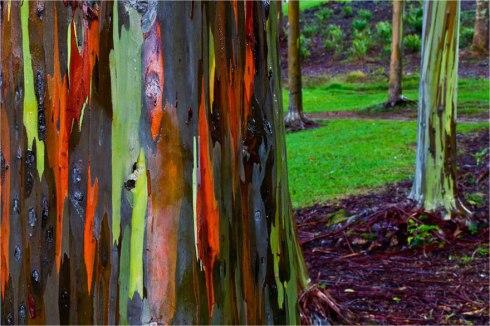 amazing-trees-eucalyptusjpg