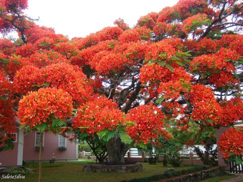 amazing-trees-flamboyant brazil