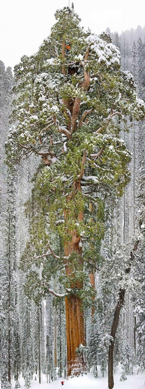 amazing-trees-giant sequioa