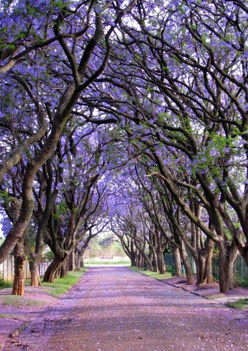 amazing-trees-Jacarandas in Cullinan, South Africa