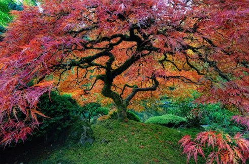 amazing-trees-japanese maple portland