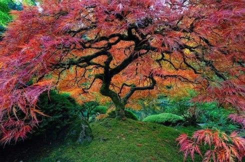 amazing-trees-japanese maple portland