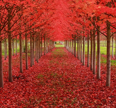 amazing-trees-maple tree tunnel oregon