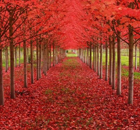 amazing-trees-maple tree tunnel oregon