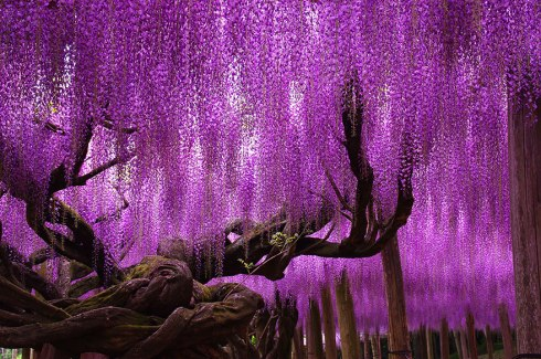 amazing-trees-wisteria