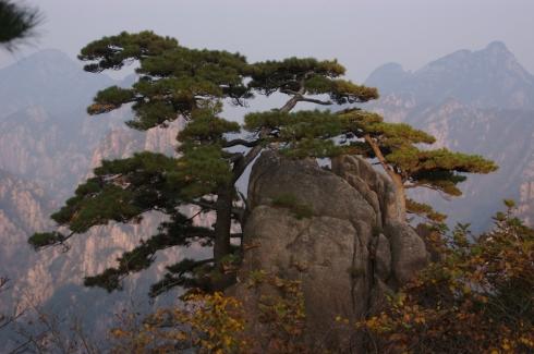 cold mountain huangshan-pine