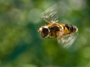 Honey bee caught in flight in the garden at La Quinetire, Buais, Normandy, France