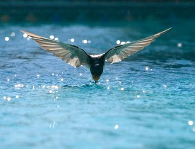 swallow-drinks-from-pool-bryan-allen