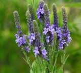 wreathblue_vervain