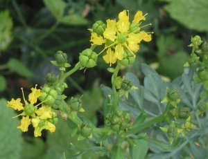 wreathruewijnruit_bloemen_ruta_graveolens